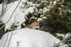 Pine Marten (Martes Martes), Montana, United States of America, North America by Janette Hil