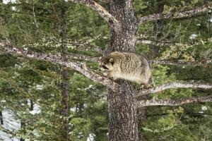 Racoon (Raccoon) (Procyon Lotor), Montana, United States of America, North America by Janette Hil