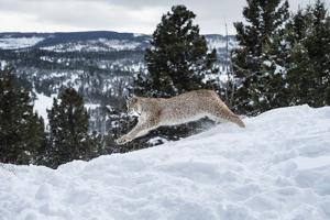 Siberian Lynx (Iberian Lynx) (Lynx Lynx), Montana, United States of America, North America by Janette Hil