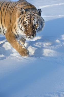 Siberian Tiger (Panthera Tigris Altaica), Montana, United States of America, North America by Janette Hil