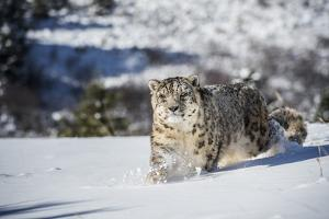 Snow Leopard (Panthera India), Montana, United States of America, North America by Janette Hil