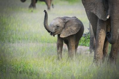 African Elephant (Loxodonta) Mother and Calf, South Luangwa National Park, Zambia, Africa by Janette Hill