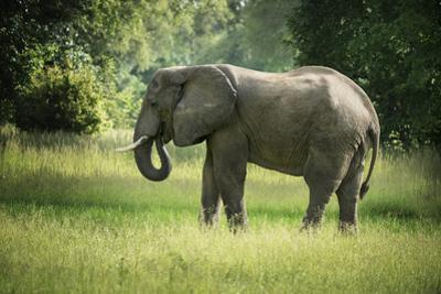 African Elephant (Loxodonta), South Luangwa National Park, Zambia, Africa by Janette Hill