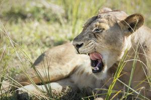African Lion (Panthera Leo), Zambia, Africa by Janette Hill