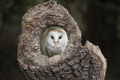 Barn Owl (Tyto Alba), Herefordshire, England, United Kingdom