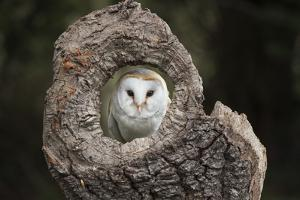 Barn Owl (Tyto Alba), Herefordshire, England, United Kingdom by Janette Hill