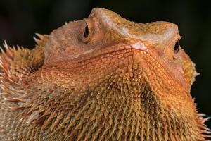 Bearded Dragon (Pogona Vitticeps), captive, Australia, Pacific by Janette Hill