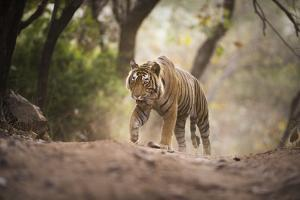 Bengal Tiger, Ranthambhore National Park, Rajasthan, India, Asia by Janette Hill