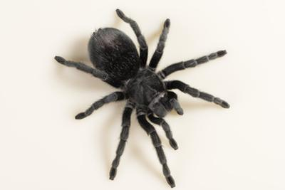 Brazilian Black Tarantula (Theraphosidae), captive, Brazil, South America by Janette Hill