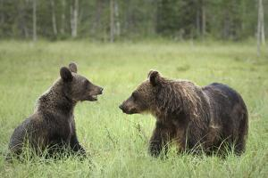 Brown Bears (Ursus Arctos), Finland, Europe by Janette Hill
