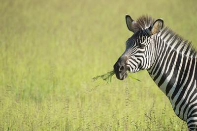 Crawshays Zebra (Equus Quagga Crawshayi), South Luangwa National Park, Zambia, Africa by Janette Hill