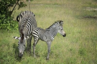 Crawshays Zebra Mother and Foal (Equus Quagga Crawshayi) by Janette Hill