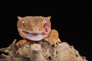 Crested Gecko (Correlophus Ciliates) in captivity, New Caledonia, Pacific by Janette Hill