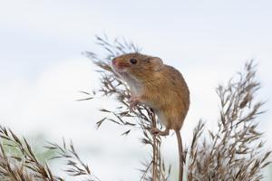 Eurasian Harvest Mouse (Micromys Minutus), Devon, England, United Kingdom by Janette Hill