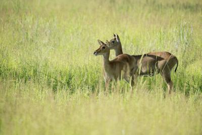 Female Impala (Aepyceros Melampus), South Luangwa National Park, Zambia, Africa by Janette Hill