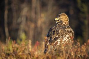 Golden eagle (Aquila chrysaetos), Sweden, Scandinavia, Europe by Janette Hill