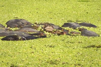 Hippopotamus (Hippopotamus Amphibious), Zambia, Africa by Janette Hill