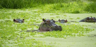 Hippopotamus (Hippos) Wallowing in Hippo Pool, South Luangwa National Park, Zambia, Africa by Janette Hill