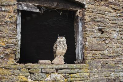 Indian Eagle Owl (Bubo Bengalensis), Herefordshire, England, United Kingdom