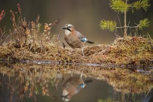 Jay (Garrulus glandarius), Sweden, Scandinavia, Europe by Janette Hill