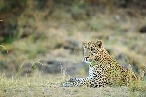 Leopard (Panthera Pardus), Zambia, Africa by Janette Hill