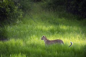 Leopard (Panthera), South Luangwa National Park, Zambia, Africa by Janette Hill