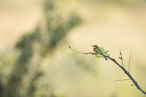 Little Bee Eater (Merops Pusillus), Zambia, Africa by Janette Hill