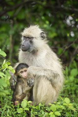 Mother and Baby Yellow Baboon (Papio Cynocephalus), South Luangwa National Park, Zambia, Africa by Janette Hill