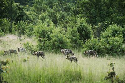 Pack of African Wild Dogs (Painted Dog) (Cape Hunting Dog) (Lycaon Pictus) by Janette Hill