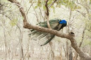 Peacock (Indian Peafowl) (Pavo Cristatus), Ranthambhore, Rajasthan, India by Janette Hill