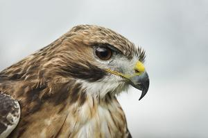 Red Tailed Hawk, an American Raptor, Bird of Prey, United Kingdom, Europe by Janette Hill
