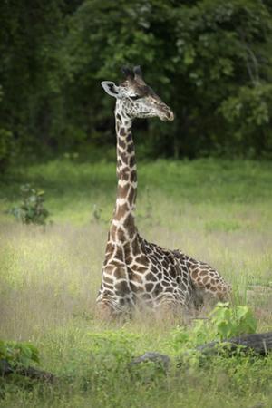 Thornicroft's Giraffe (Giraffa Camelopardalis Thornicrofti) by Janette Hill
