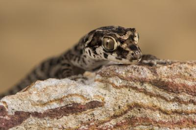 Viper Gecko (Teratolepis fasciata), captive, Pakistan, Asia by Janette Hill