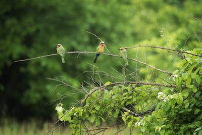 White-Fronted Bee-Eater (Merops Bullockoides), South Luangwa National Park, Zambia, Africa by Janette Hill