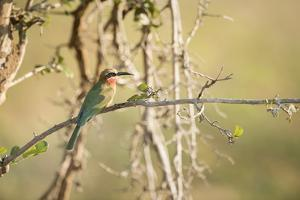 White Fronted Bee Eater (Merops Bullockoides), Zambia, Africa by Janette Hill