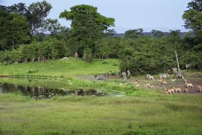 Zebra and Impala at Waterhole, South Luangwa National Park, Zambia, Africa by Janette Hill
