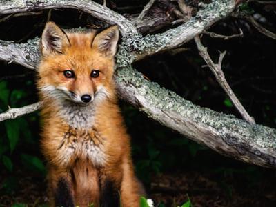 Red Fox in Maine by Janine Edmondson