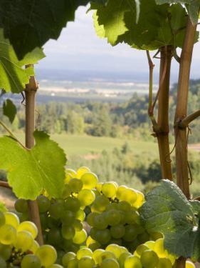 Chardonnay Grapes in the Knudsen Vineyard, Willamette Valley, Oregon, USA by Janis Miglavs