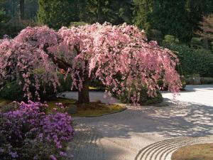 Cherry Tree Blossoms Over Rock Garden in the Japanese Gardens, Washington Park, Portland, Oregon by Janis Miglavs