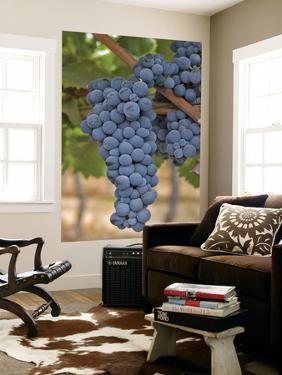 Close Up of Cabernet Sauvignon Grapes, Haras De Pirque Winery, Pirque, Maipo Valley, Chile by Janis Miglavs