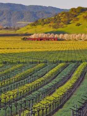 Spring Mustard Flowers in Screaming Eagle Vineyard, Napa Valley, Napa County, California, Usa by Janis Miglavs