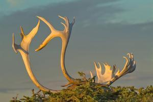 Sunset illuminates Caribou antlers on sandy ground, Northwest Territories, Canada. by Janis Miglavs