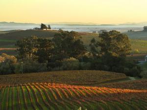 Vineyard from Artesa Winery, Los Carneros, Napa Valley, California by Janis Miglavs