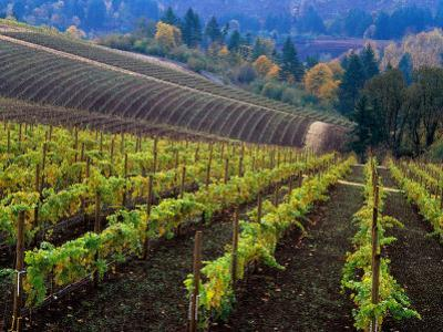 Vineyard in the Willamette Valley, Oregon, USA