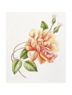 Peach Rose 11 by Janneke Brinkman-Salentijn