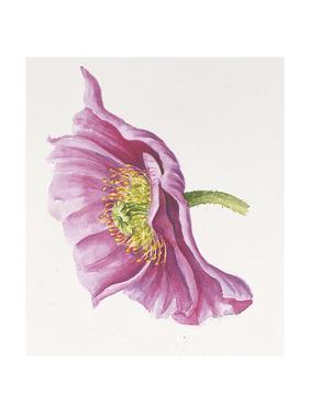 Purple Poppy by Janneke Brinkman-Salentijn
