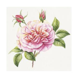 Single Rose 2 by Janneke Brinkman-Salentijn