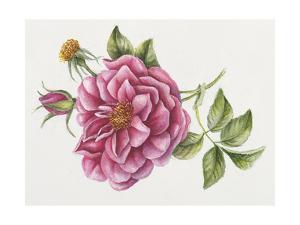 Single Rose 9 by Janneke Brinkman-Salentijn