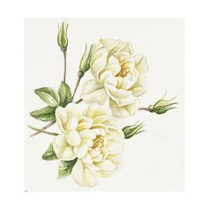White Roses by Janneke Brinkman-Salentijn