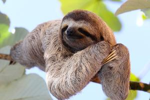 Happy Sloth Hanging on the Tree by Janossy Gergely